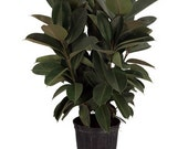 "Large Ficus Elastica 'Burgundy' Rubber Tree - Approx. 3' Tall -  DIY 8"" pot *LIMITED QUANTITY*"