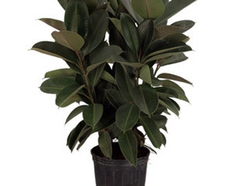 """Large Ficus Elastica 'Burgundy' Rubber Tree - Approx. 3' Tall -  DIY 8"""" pot *LIMITED QUANTITY*"""