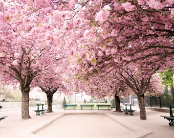 Paris Photography -  April in Paris, Paris Dreams in Pink, Cherry Blossoms at Notre Dame, French Home Decor, Large Wall Art