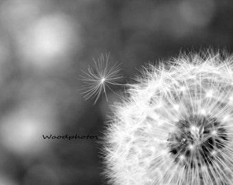Black and white dandelion, macro, home decor