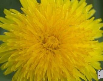 Dandelions can be Beautiful - 8x10 Photograph