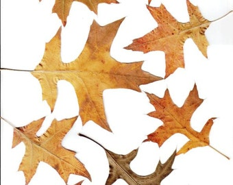 PRESSED BROWN OAK Leaves - Perfect for Weddings, Events, Decorations, Art & Craft Projects, Holidays, Cards, ScrapBooking