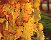 November Vineyard Detail Photograph - fall autumn wine country orange yellow green grapevine warm art print home decor photo photography