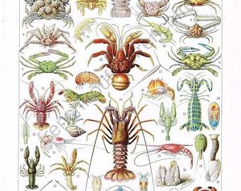 antique french illustration crustacean lobster crabs shrimps learning board digital download