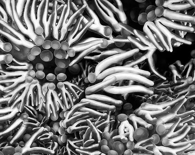 Monochome Abstract Black and White Underwater Photograph of Sea Anemone Tentacles Modern Nautical Decor Print