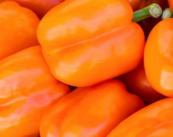 Pepper, Organic Orange Bell Pepper Seeds | Gorgeous Bright Orange Bell Peppers