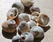 California Swirly Sea Shell Pieces - Found Sea Shell Supply