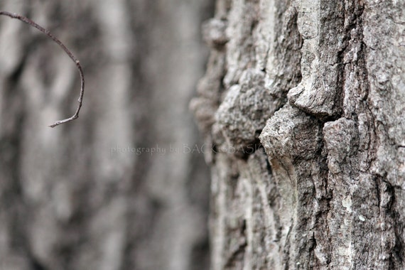 What did you say? Bark and twig, Young and old, Connecticut, tree bark,macro, shades grey, Fine Art Photography, Interior Design, Home Decor