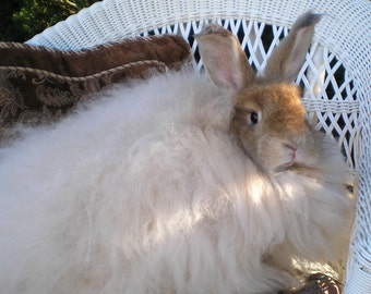 "Fawn Angora Rabbit Spinning Fiber  1 oz. Handplucked from ""Fiona"""
