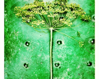 Aluminum Photo Panel: Dill Herb Bloom, 11x14 Panel