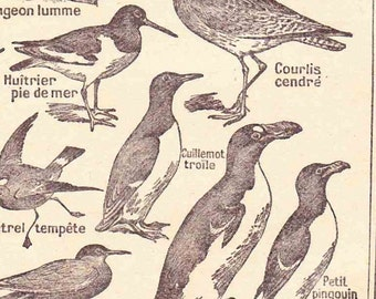 Beautiful Antique Print french Encylopedia Page 1920s Engraved iIlustrations Sea Birds paper projects scrapbooking, collage