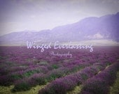 Lavender fields and other purple close up digitals all large downloads