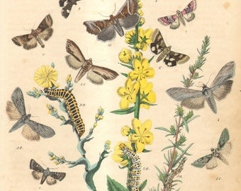 1863 Antique Hand Coloured Engraving of Moths, Mullein Moth, Lettuce Shark, Scarce Wormwood, Marbled Clover, Field Bindweed Moth