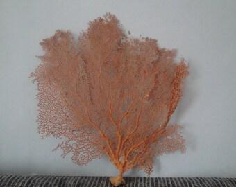"11.6"" x 12"" Pacifigorgia Red  Sea Fan Seashells Reef Coral"
