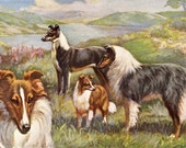 Collie and Shetland Sheep Dog Vintage Print -  Edward Herbert Miner - 1940s