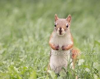 Squirrel Print - Woodland Creature Art, Red Squirrel Animal Photography Print