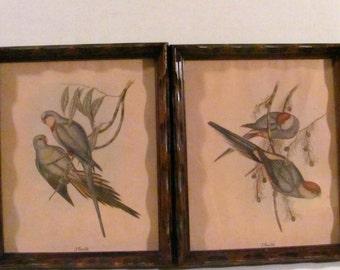 Two Vintage Framed  J. Gould Parakeets Prints