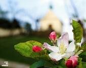 Cherry blossom, dreamy church, st Clare chapel, spring Prague, Prague in bloom, 10x8, giclee print