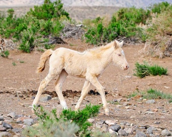Little Blue Eyes 2 - Cremello Mustang Foal