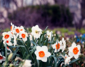 Daffodil's in the City - Chicago City Photography -        Fine Art Photography