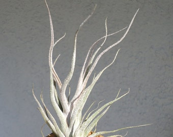Tillandsia Ehlersiana Small