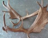 Pair of Fallow Deer Antlers