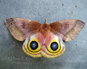 Moth Photo, Female Io Moth, Nature Photography, Animal Photography
