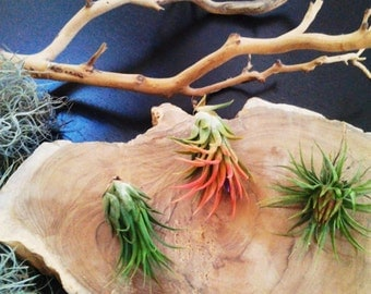 Set of 3  Air plants - Tillandsia - diy projects - terrariums - crafts - supplies - holiday gifts