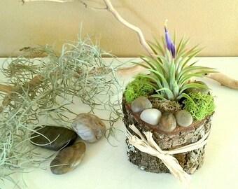 Air plant terrarium - tillandsia - Tree slices - Rustic terrarium - Air plants - Rustic decor - Wedding favors