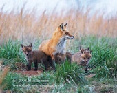 Fox Art Print Photograph - Fine Art Photo Red Fox Kits Family