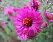 Spring Heirloom 2000 Seeds England Aster Wildflower 2000 Pink Flower Seeds Bulk seed S013