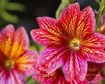 Heirloom 1000 Seeds Salpiglossis Painted Tube Tongue Velvet Trumpet Flower Fresh Seeds B0119