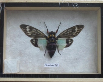Real CICADICAE SP CICADA Insect Taxidermy in Wooden Box/CI08F