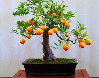 Flying Dragon, Poncirus citrus trifoliata, 10 seeds, cold hardy citrus, miniature tree, blooming bonsai, fragrant blossoms, great houseplant