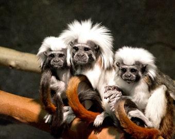 Wynken Blynken and Nod, Monkey, Cotton Top Tamarin, Animals, Nature