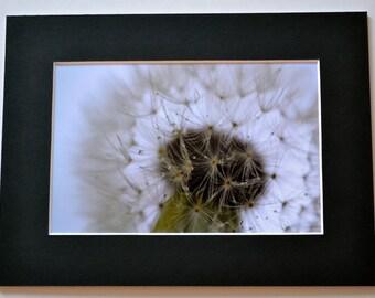 "Mounted Original Photograph - 8 x 6"" - Dreamy Dandelion Clock"