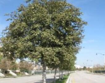 500 White Alder Tree Seeds, Alnus rhombifolia