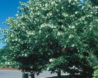 50 Silver Linden Tree Seeds, Tilia tomentosa