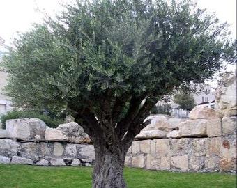 50 Olive Tree Seeds, Olea europaea