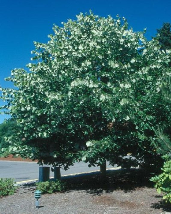 how to grow linden tree from seed