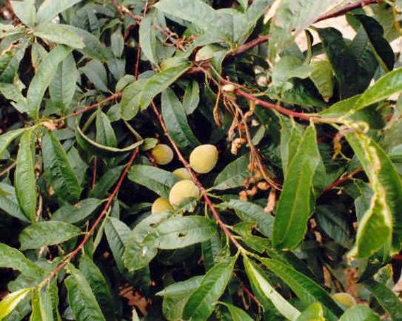 50 David's Peach Tree Seeds Prunus davidiana