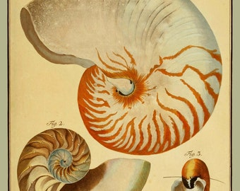 Nautilus Seashell Rustic Art Print or Poster From 1790 German Oceanic/Natural Science Journal - Nautical Art - Wall Art - Beach House Decor