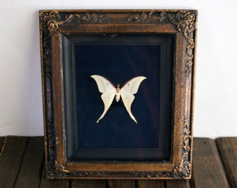 Vintage real large butterfly moth white moth framed Oddities home decor