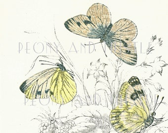 Set of Two Antique Butterfly Prints, 19th Century Pictures of Butterflies, White Butterflies, Pale Yellow Butterflies, Natural History