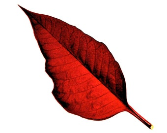 Fine Art Photography Red Poinsettia Leaf