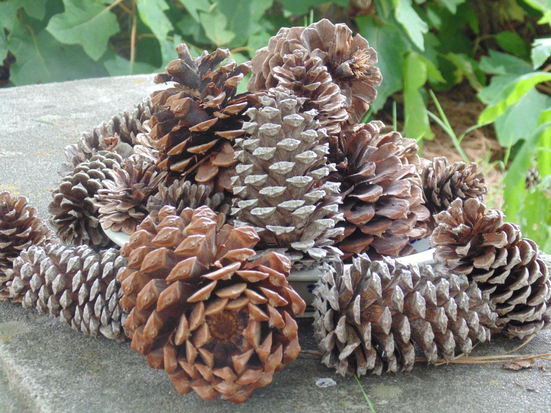 Pine cones bulk pine cones craft pine cones medium pine for Small pine cone crafts