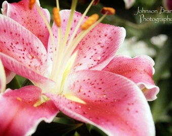 Pink Stargazer Lily Photographic Print