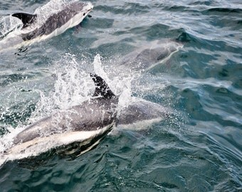 atlantic dolphin photography, boats, nautical wall art, martime, dolphins, mammals, water mammals
