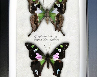 Real Butterflies Purple Spot Swallowtail Graphium Weiskei In Museum Quality Shadowbox
