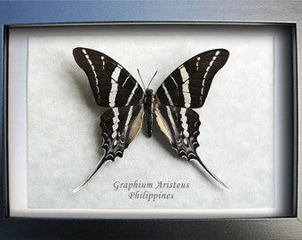 Chain Swordtail Graphium Aristeus Real Butterfly Framed In Shadowbox